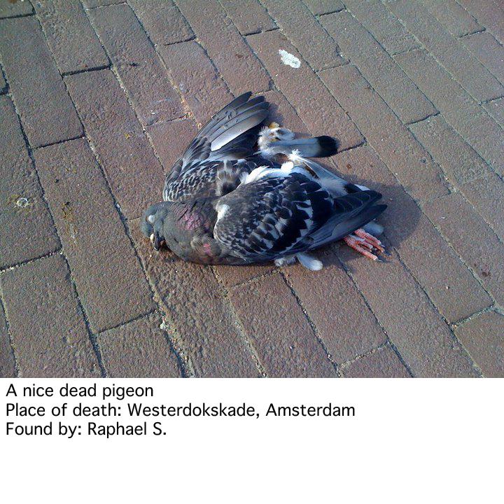 dead pigeons   Dead things we find